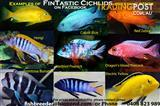 African Cichlid display Male Sale!!! 15 different types