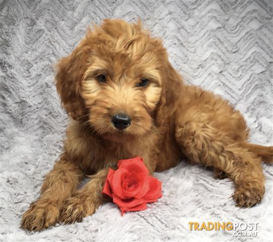 Find Puppies For Sale In Nsw Australia