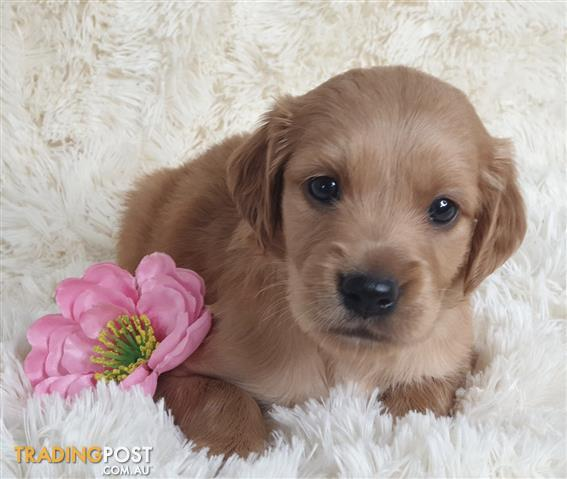 Irish Setter X Golden Retriever Puppies Delivery Available