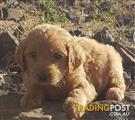 Groodle Puppies - Golden Retriever x Poodle - DELIVERY AVAILABLE