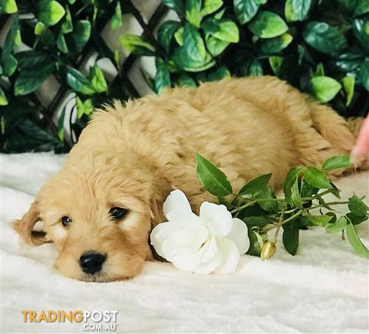Groodle Puppies Golden Retriever X Poodle Delivery Available