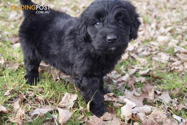 Gorgeous F1 Miniature Groodle Puppies For Sale