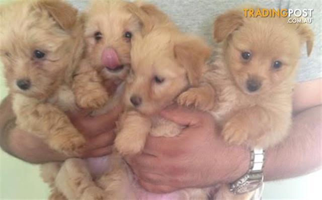 ***The most beautiful adorable Toy Shmoodle puppies***