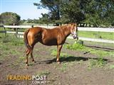 Registered Aqpa Mare