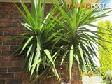 Yucca Plant With Ceramic Pot 6.5 ft