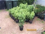 Pittosporum 'Green Pillar'