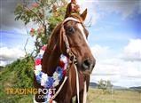 Registered Quarter Horse great trail riding horse