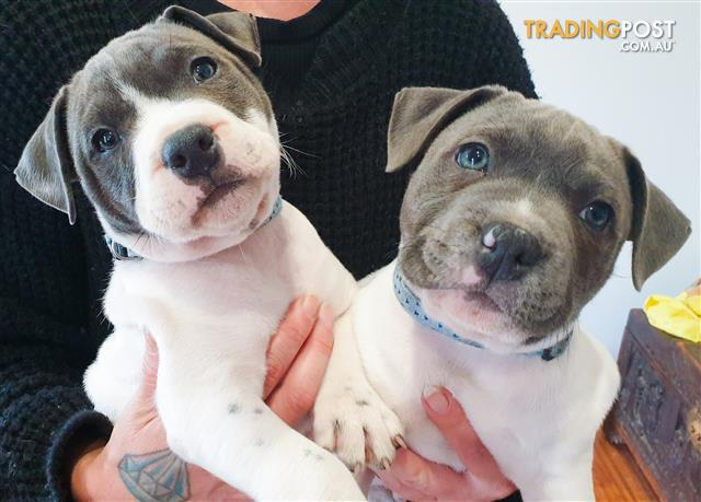 English Staffy Puppies White Blue Pied