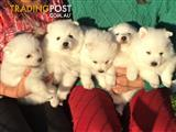 Japanese spitz puppies Pure Breed