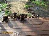 Ultimate mastiff x Grate dane