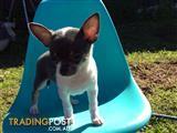 Chihuahua Puppies Purebred
