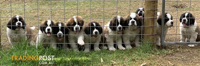 Saint-Bernard-Pup-for-sale