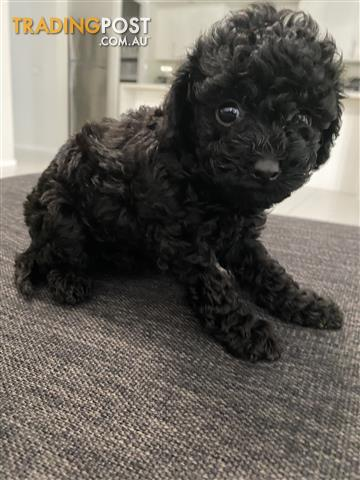 Find Cavoodle Puppies For Sale In Australia