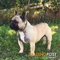 French Bulldog Stud Frenchie Proven Sire Champion Bloodlines Health tested