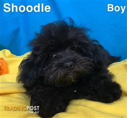 Poodle Find Puppies For Sale In Australia