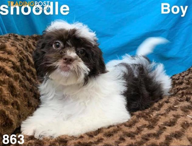 Toy-shoodle-shihtzu-x-toy-poodle-in-Perth-Western-Australia