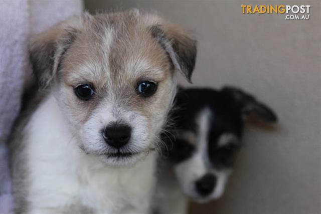 Find puppies for sale in VIC, Australia
