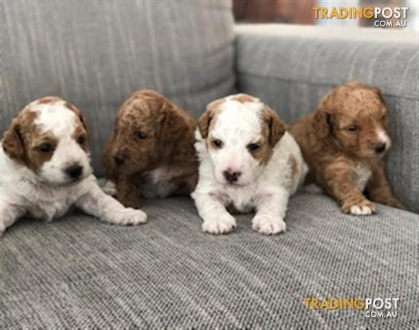 4 X Second Generation Cavoodle Puppies 8 Weeks Old 1 Left