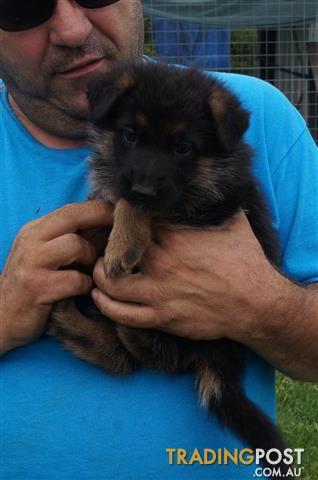 Registered Pedigree German Shepherd Puppies
