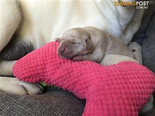 labrador puppies | Find puppies for sale in Australia
