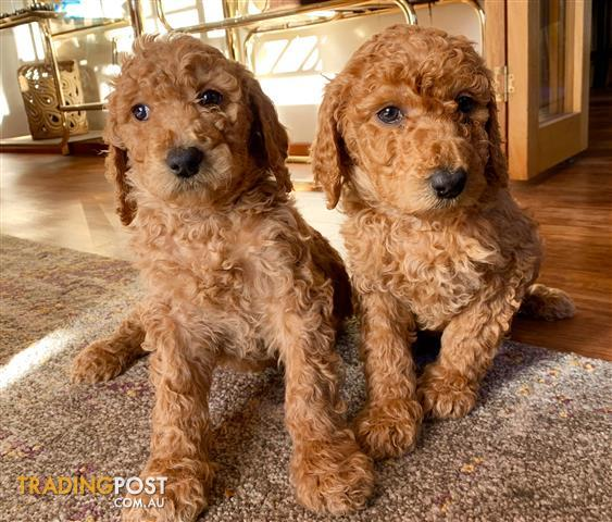Standard-Poodle-Puppies-for-Sale