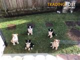 Border Collie Puppies - long haired DOB: 30/9/2017