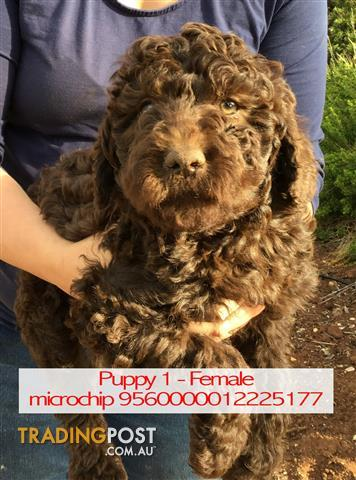 Find Labradoodle puppies for sale in Australia