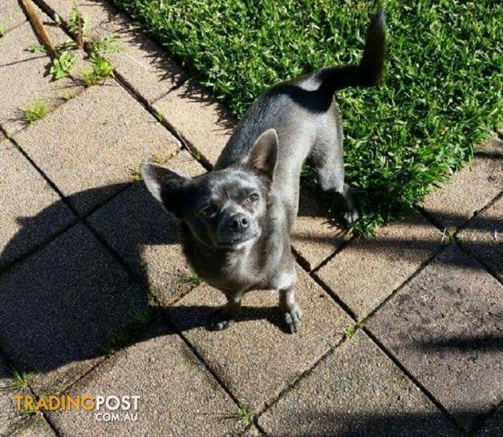 Stunning Blue Chihuahua