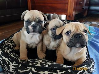 french bulldog | Find pets and horses for sale in NSW, Australia