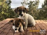 Pure Bred Jack Russell's Female 1 ONLY