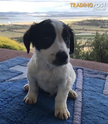 Jack Russell x Terrier