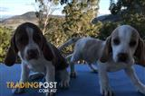Pure Bred beagle Puppies 1 ONLY Male Available