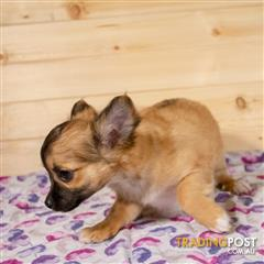 Find chihuahua (long coat) puppies for sale in Australia