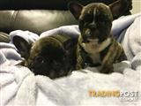 Pure breed French bulldog puppies on mains papers.