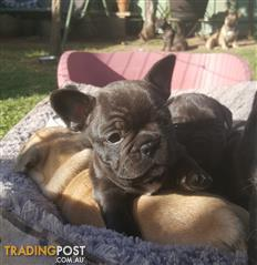 Find Puppies, Kittens and other pets for sale | Tradingpost