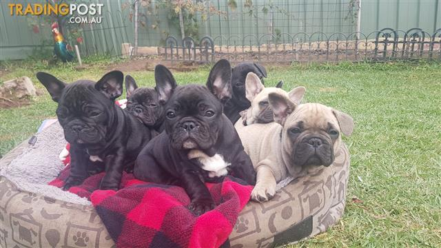 Find French Bulldog Puppies For Sale In Nsw Australia
