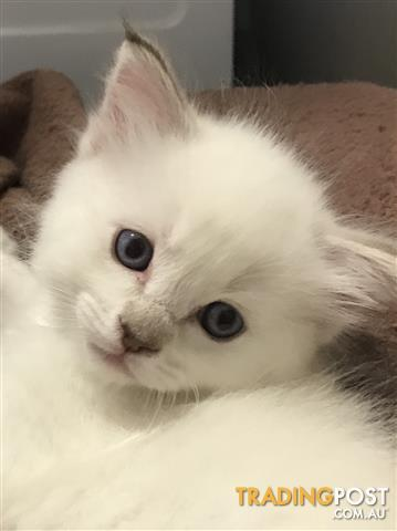 RAGDOLL-KITTENS-only-3-left