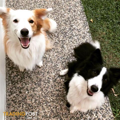 collie | Find puppies for sale in Australia