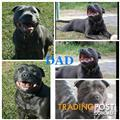 Staffordshire Bull Terrier pups Blue puppies English staffy staffies Pups