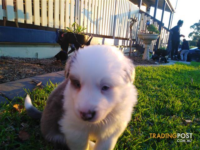 Greenbelt Bowl ⁓ Try These Border Collie Puppies For Sale Nsw