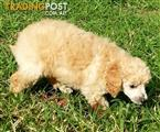 Tiny Toy Poodle Pups  $1500