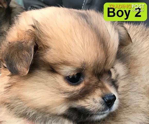 Pomeranian x maltese shih tzu puppies for sale in echuca vic pomeranian x maltese shih tzu puppies solutioingenieria Choice Image