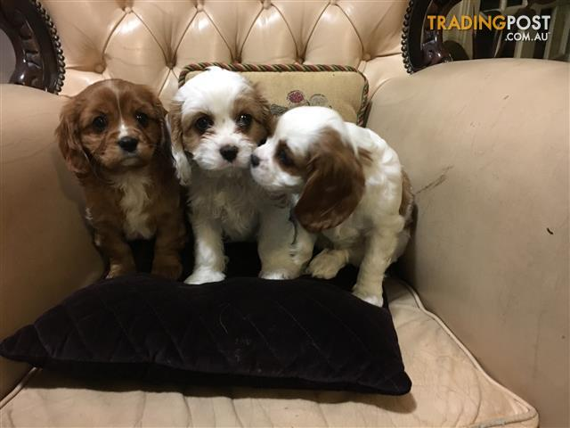 Cavoodle x /Cavalier King Charles Spaniel Puppies