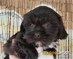 Maltese x Shihtzu  2 Female's