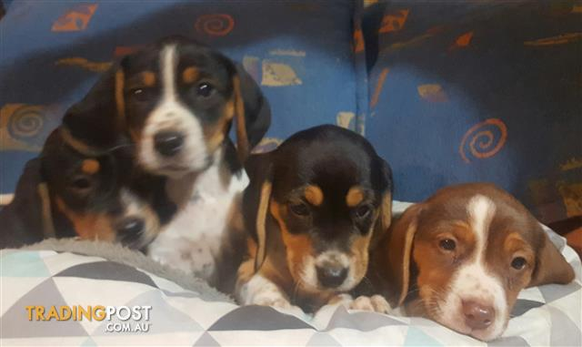Beagle Puppies Male's Only x 2
