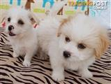 Maltese x Jack Russell Male & Female