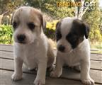 Shihtzu x Fox Terrier MALE ONLY AVAILABLE