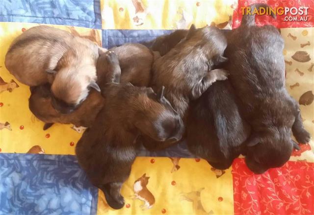 Choodles Chihuahua x Poodle