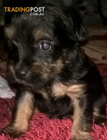 Pure Bred Silky Terrier Female
