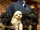 Cavoodles Cavalier x Toy Poodle 2 Black Boys For Sale